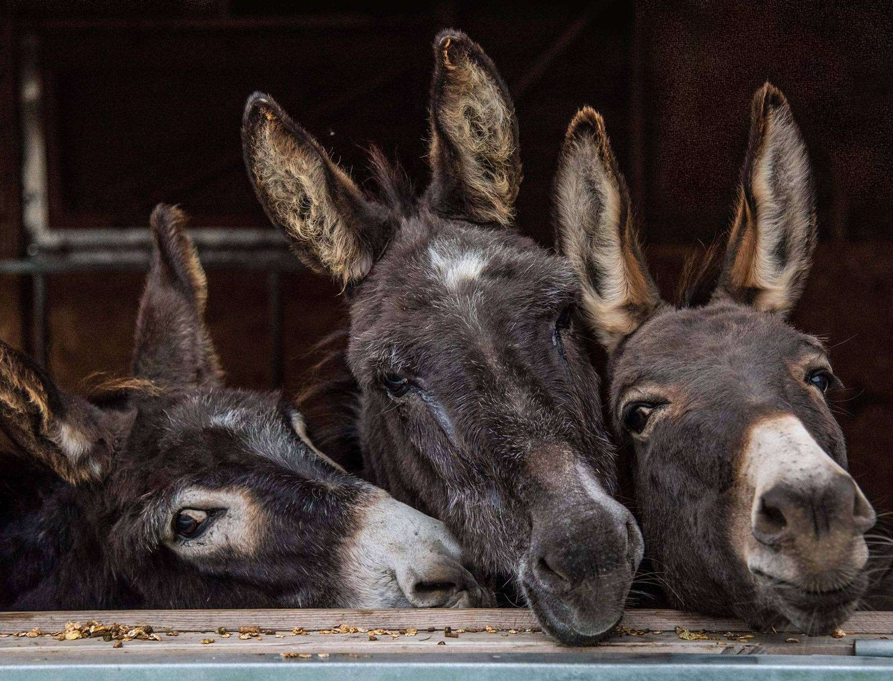 Donkeys at Happy Endings Rescue in Faversham