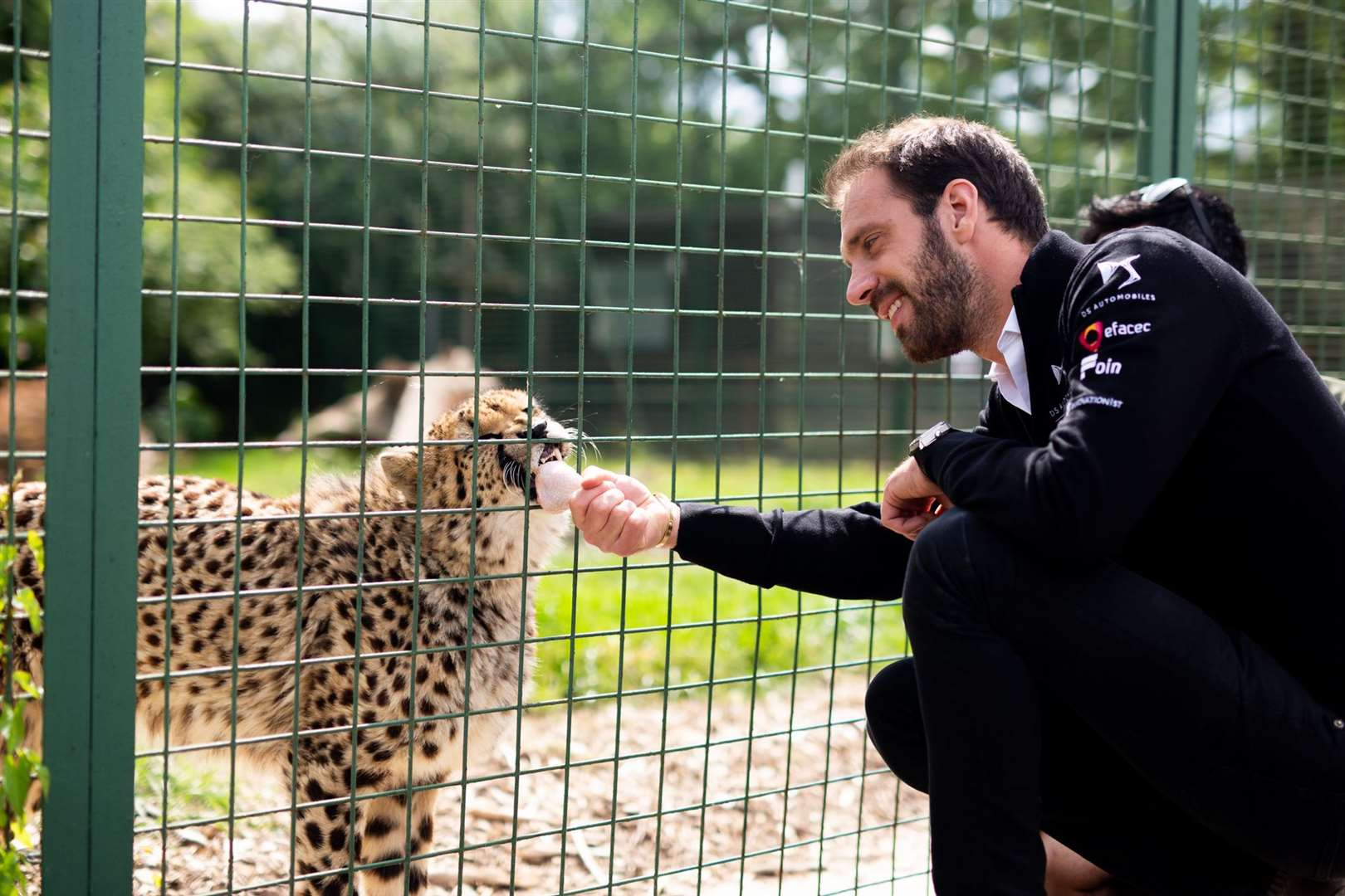 Jean-Eric Vergne feeds Willow, who starred on the Big Cats About The House programme. Picture: DS TECHEETAH