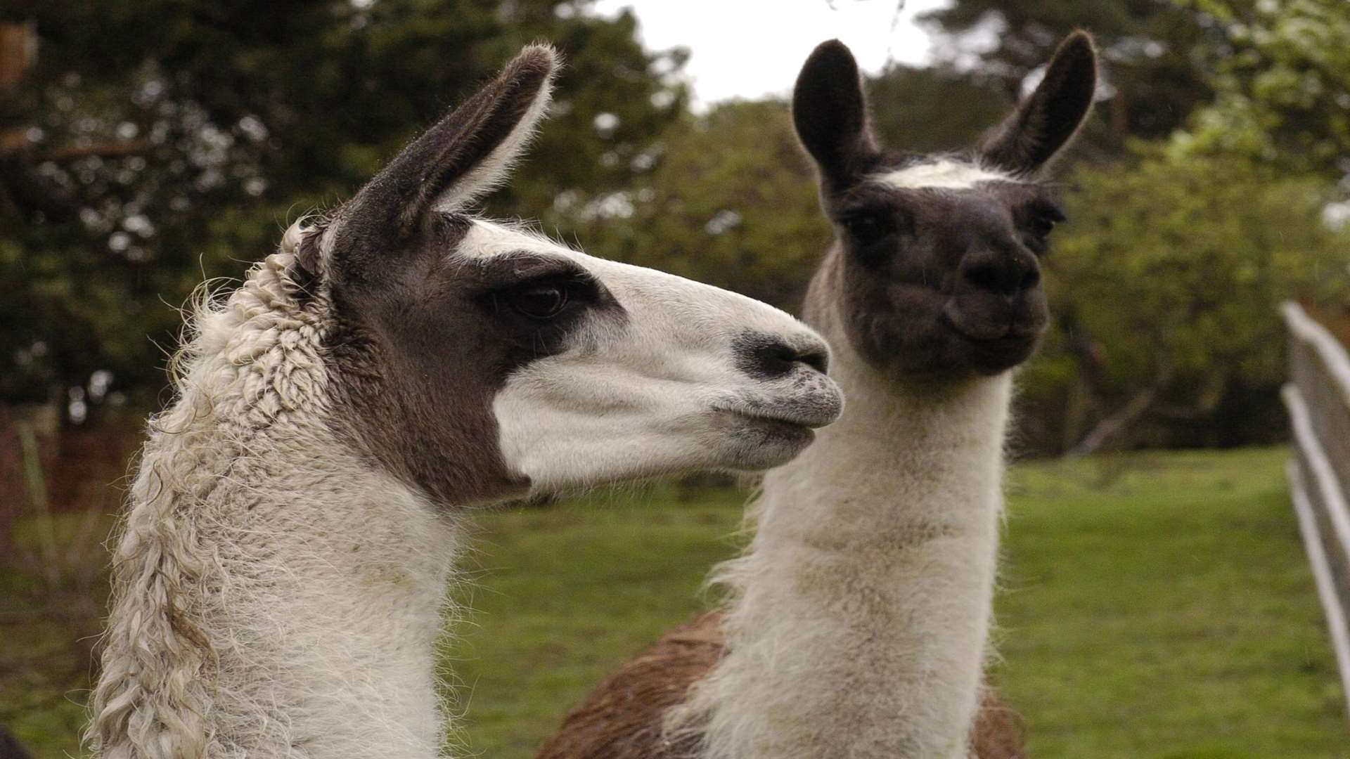 Llamas were spotted on the railway. Stock pic