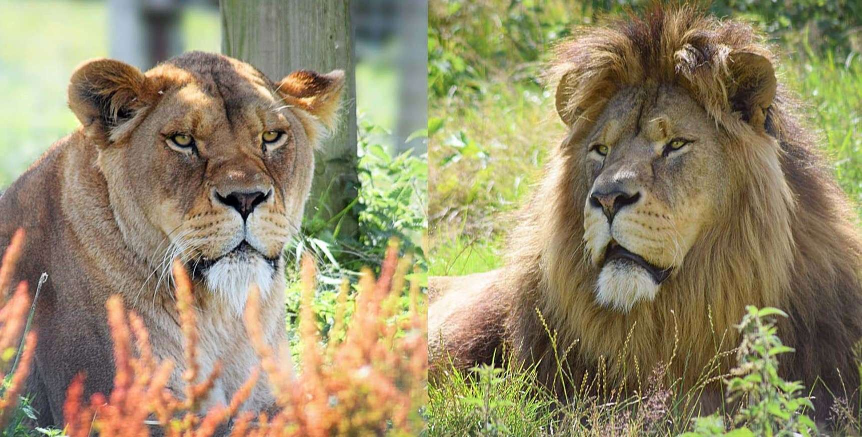 Port Lympne is home to hundreds of animals, including the lions Wilma and Zulu Picture: Port Lympne