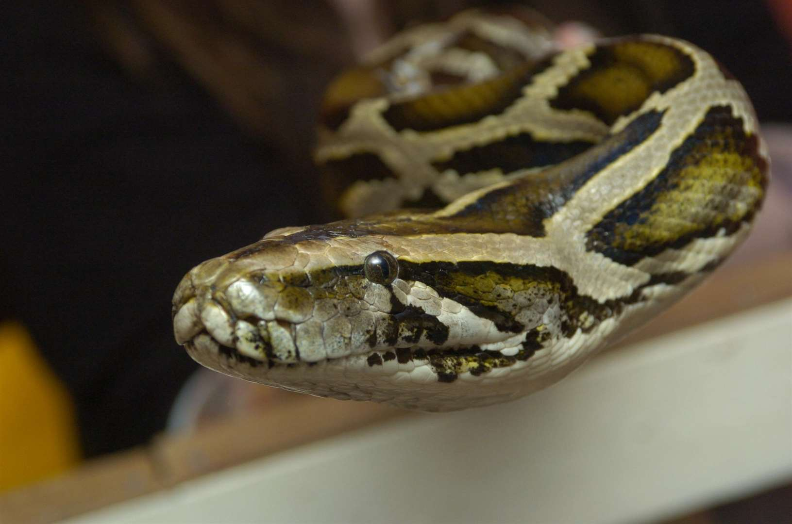 Image of a python, which the missing snake is thought to be. Library picture