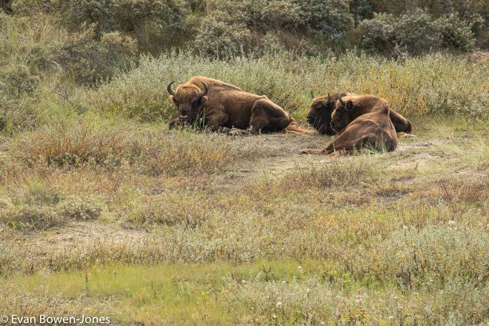 About six bison will be introduced to begin with. Picture: Evan Bowen-Jones