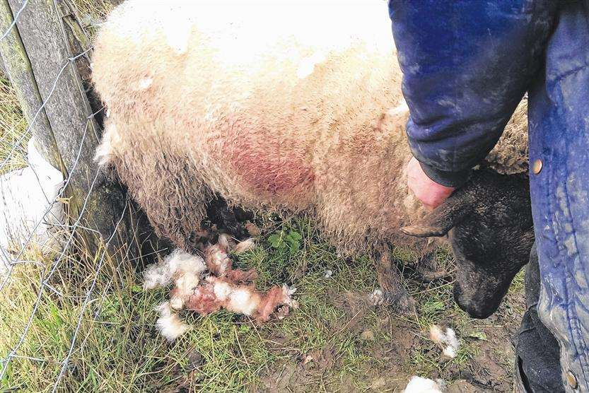 One of Roger Cooper's sheep after being attacked by dogs