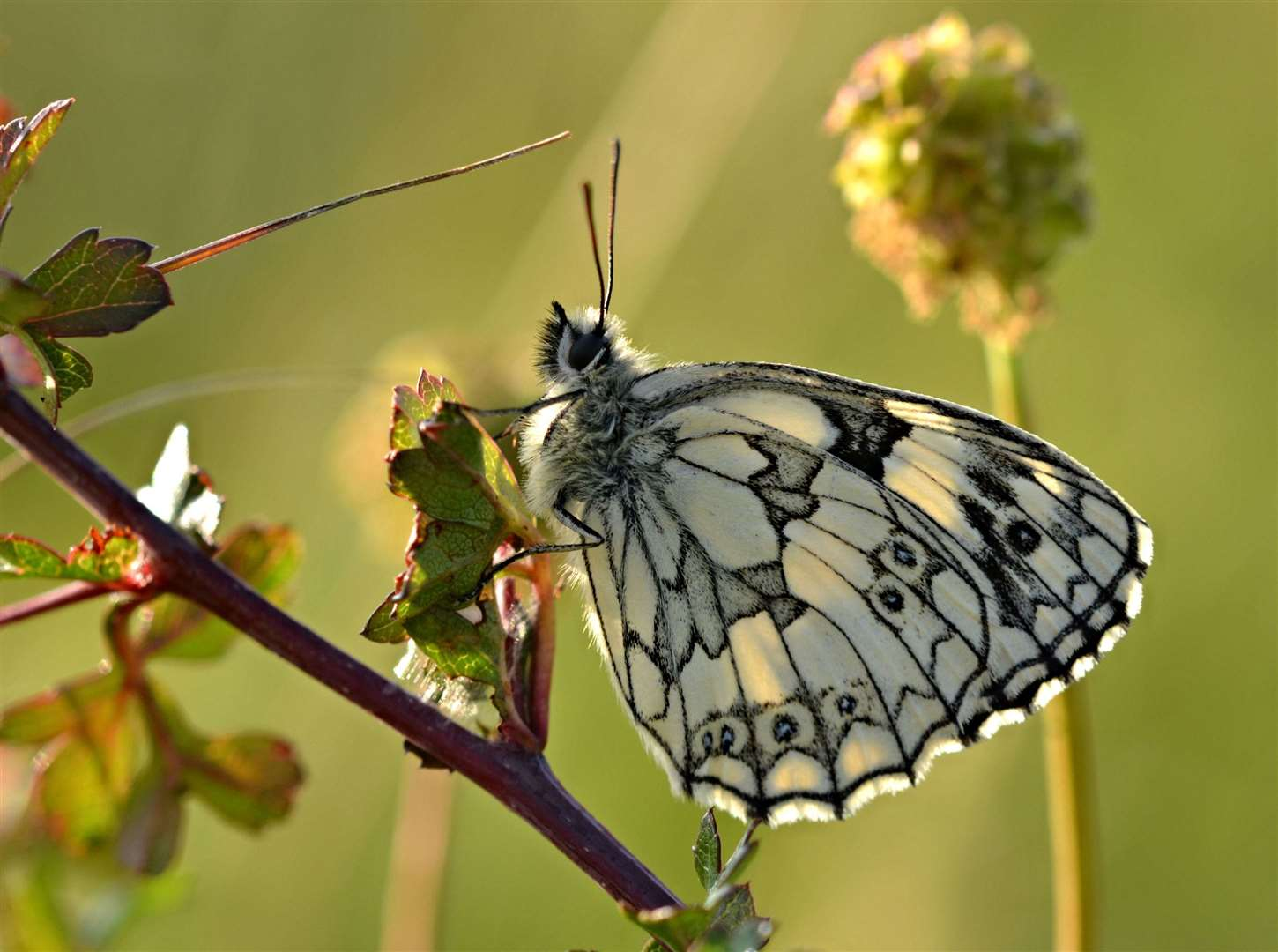 A marbled white butterfly Picture: Andrew Cooper