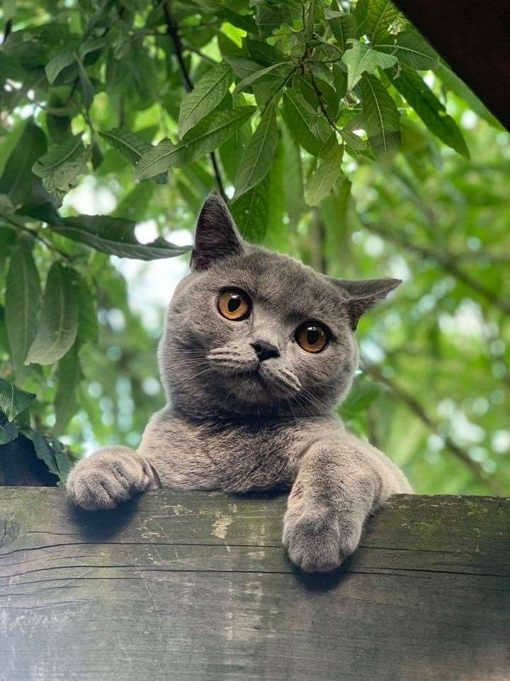 An animal welfare group is investigating the killing of British blue cat Oscar (15040846)