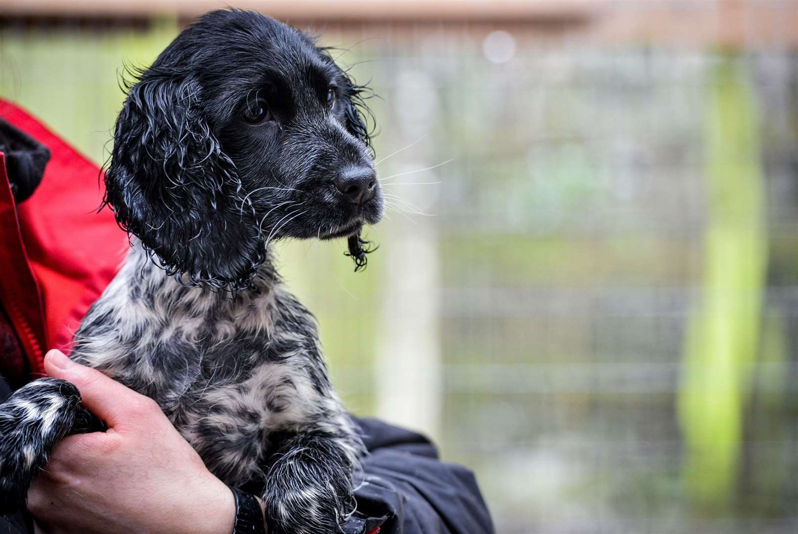 Befa, the springer spaniel rescued by the Dogs Trust. Picture: Beth Walsh