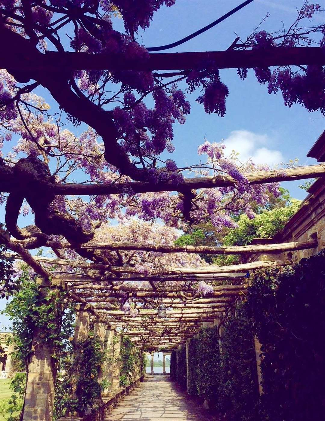 Wisteria sinensis stretching along Pergola Walk and all the way to the loggia and lake