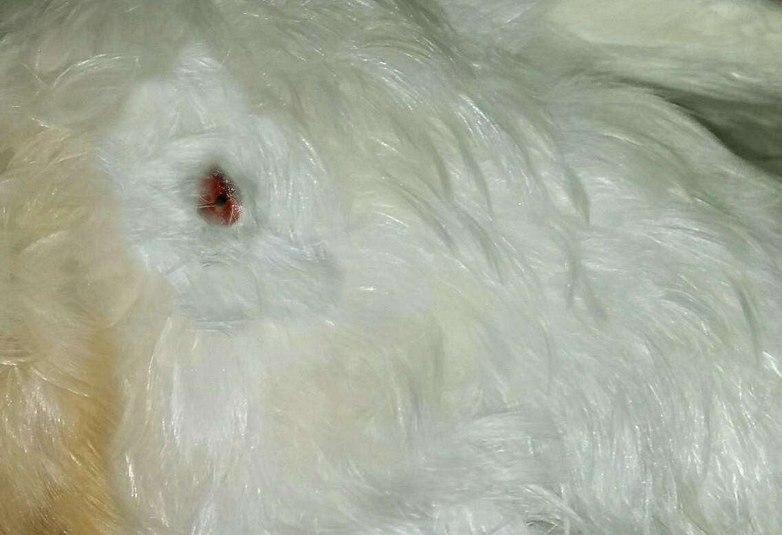 The bullet wound in the barn owl's chest (1471570)