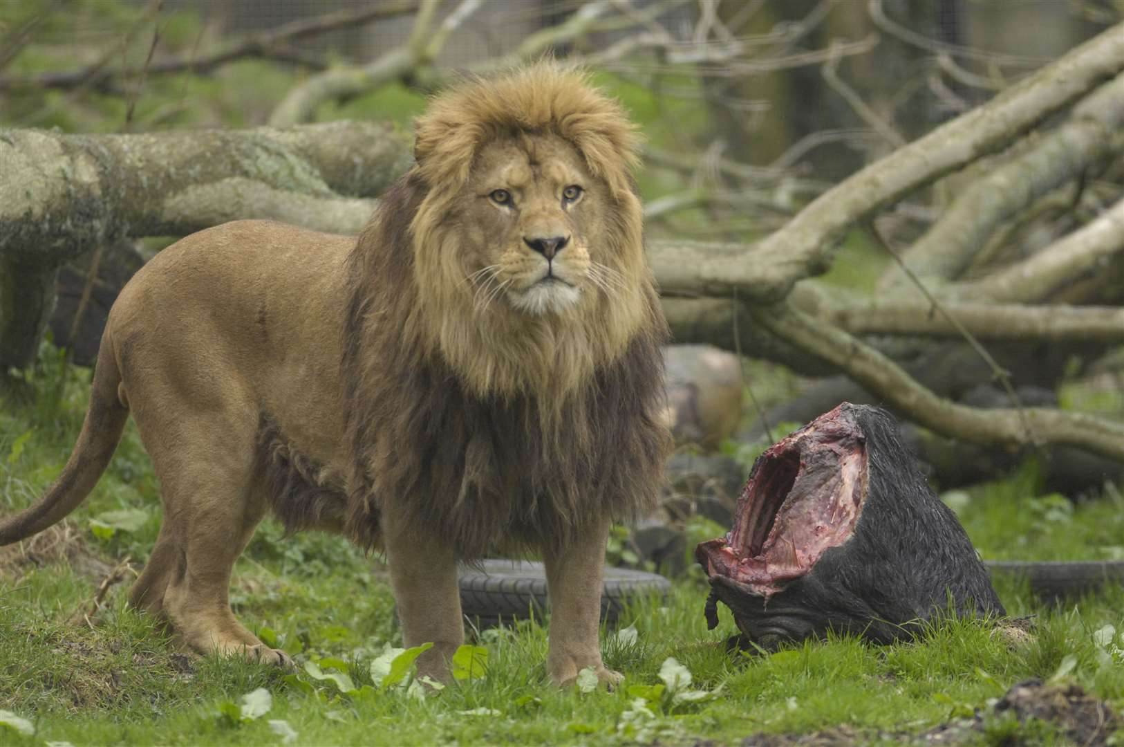 Barbary Lion may not get to see France