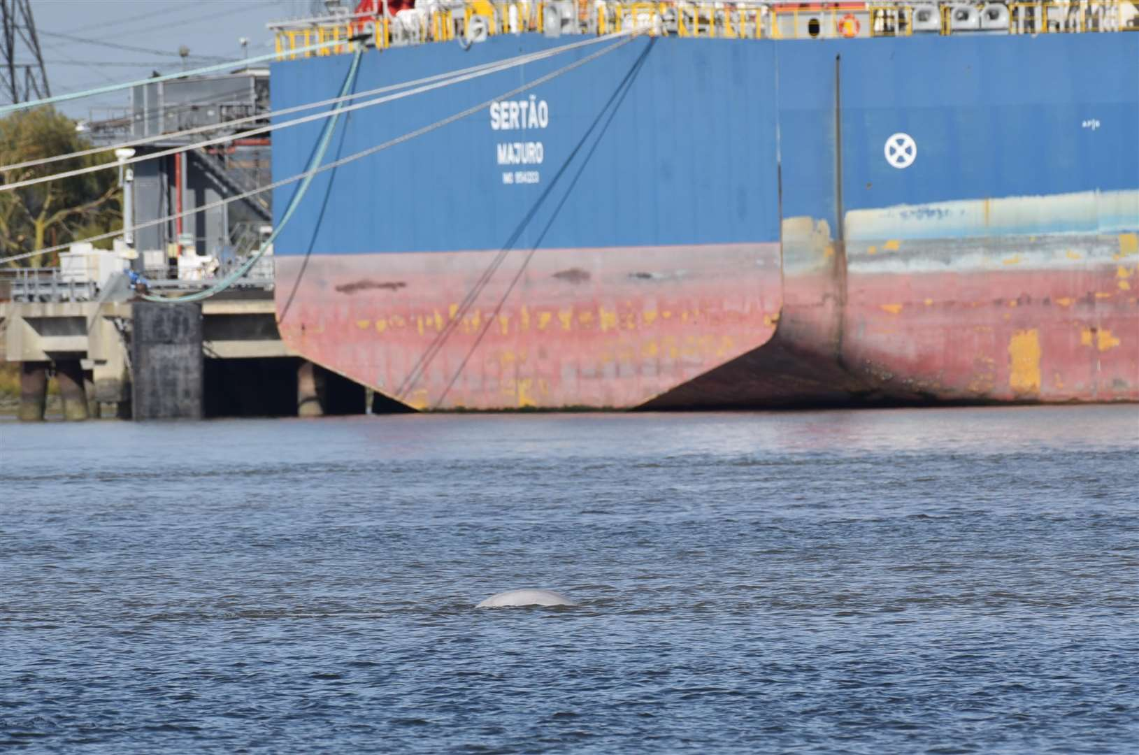 Benny the Beluga pops his head out for watchers as a ship passes by. Picture: Fraser Gray