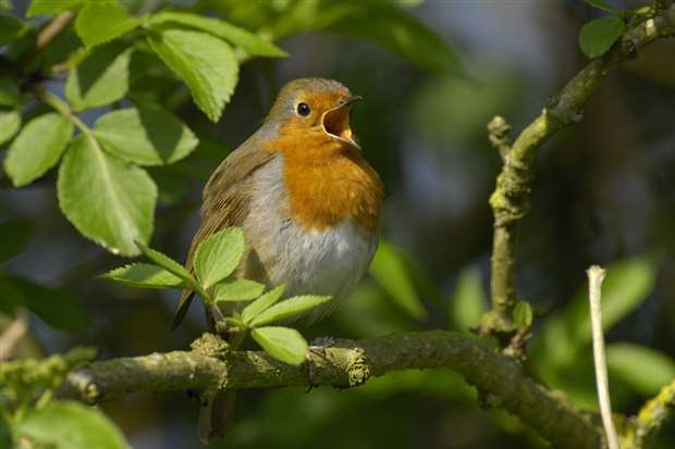 """It was a robin that showed Frances Hodgson Burnett the way to the """"secret garden"""" for her book"""
