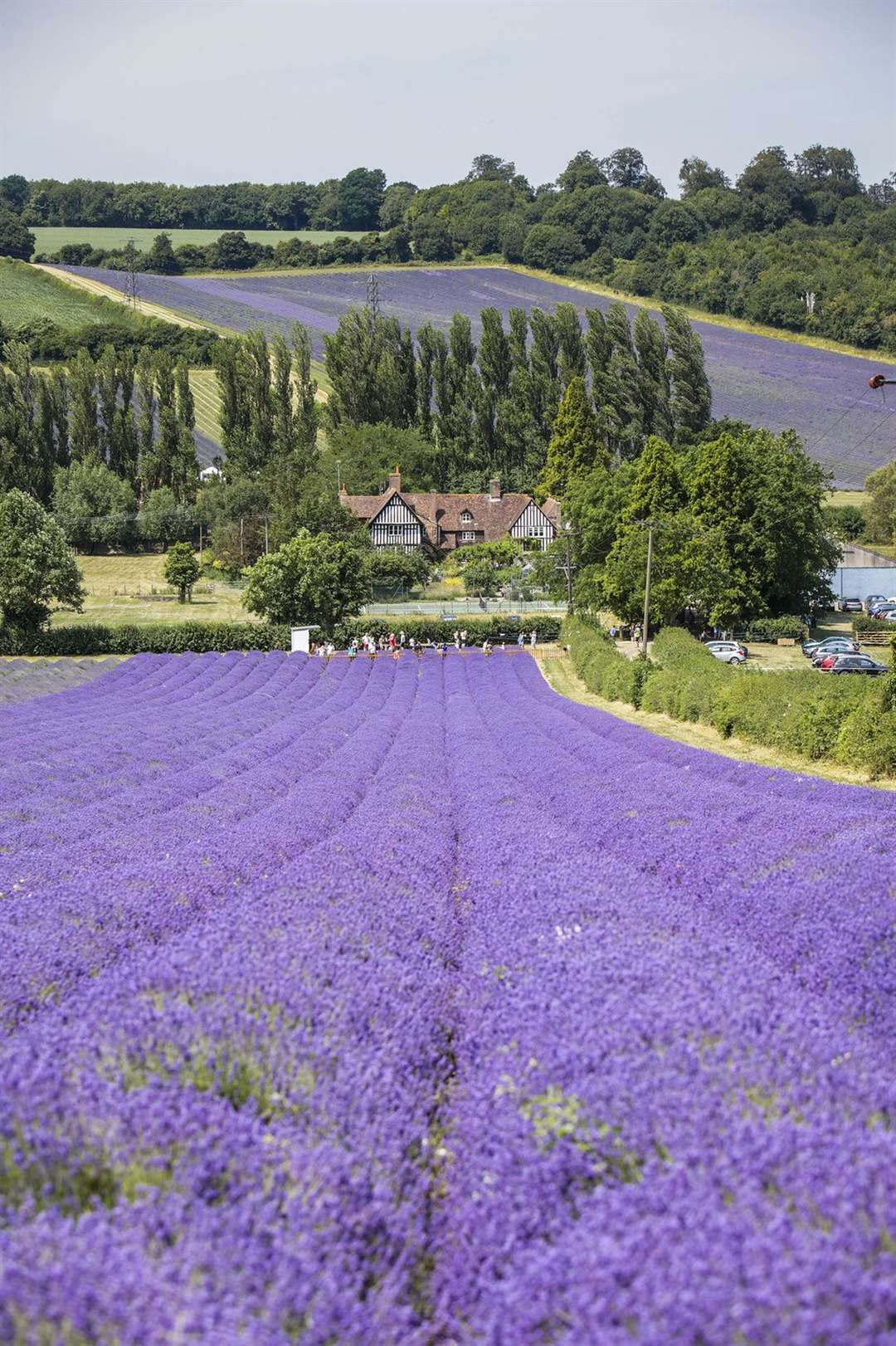 Castle Farm lavender fields won't be in full bloom until later this summer Picture: Thomas Alexander