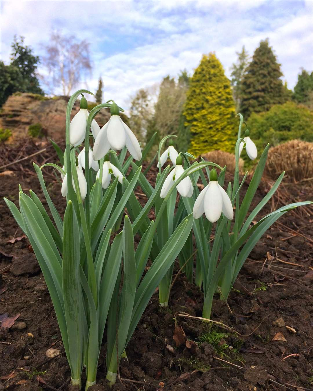 Great Comp Garden holds its Snowdrop Sensation this weekend