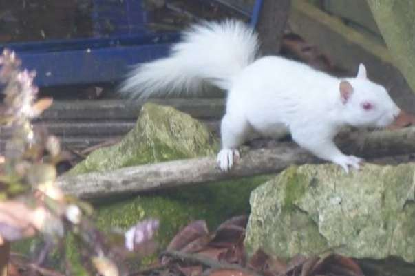 An albino squirrel has been seen eating nuts and drinking from a puddle in Hawkinge