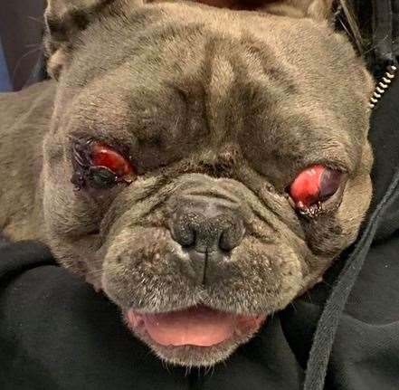 Arthur, a French bulldog, had to have his eyes removed following the accident