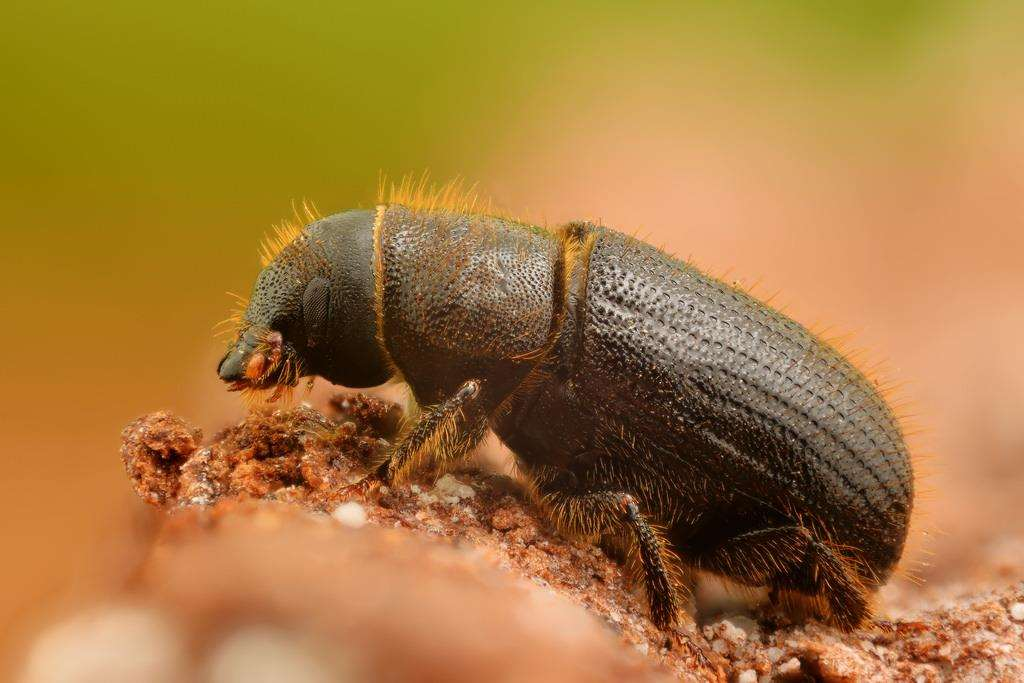 The spruce bark beetle has been found in Ashford (5871621)