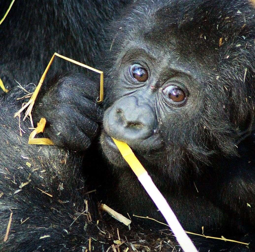 Louango, a baby gorilla at Port Lymnpe, is celebrating his first birthday