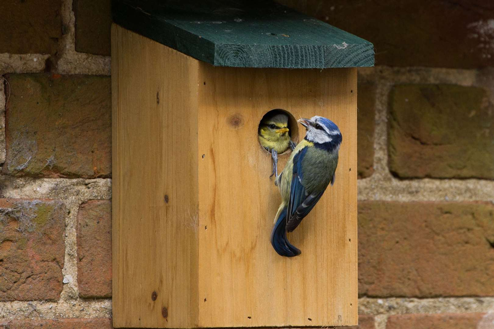 A fledging blue tit gets a meal inside its nest box