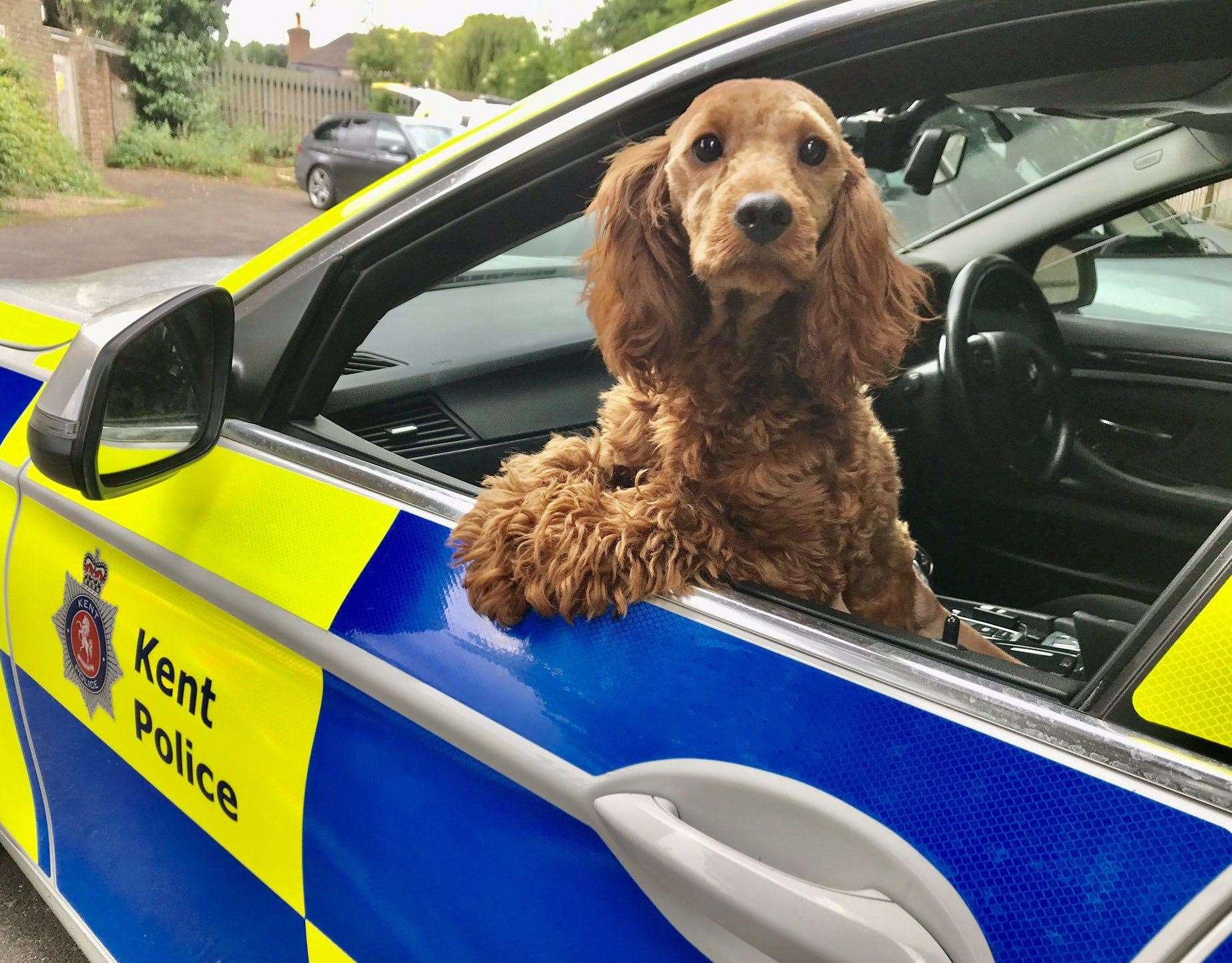 Stolen dog Peanut was found wandering along A249 in Miadstone near the Stockbury roundabout. Picture: @KPTacOps