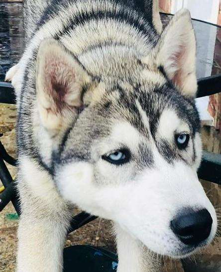 Echo the husky has been saved by wildlife centre Eagle Heights (6976907)