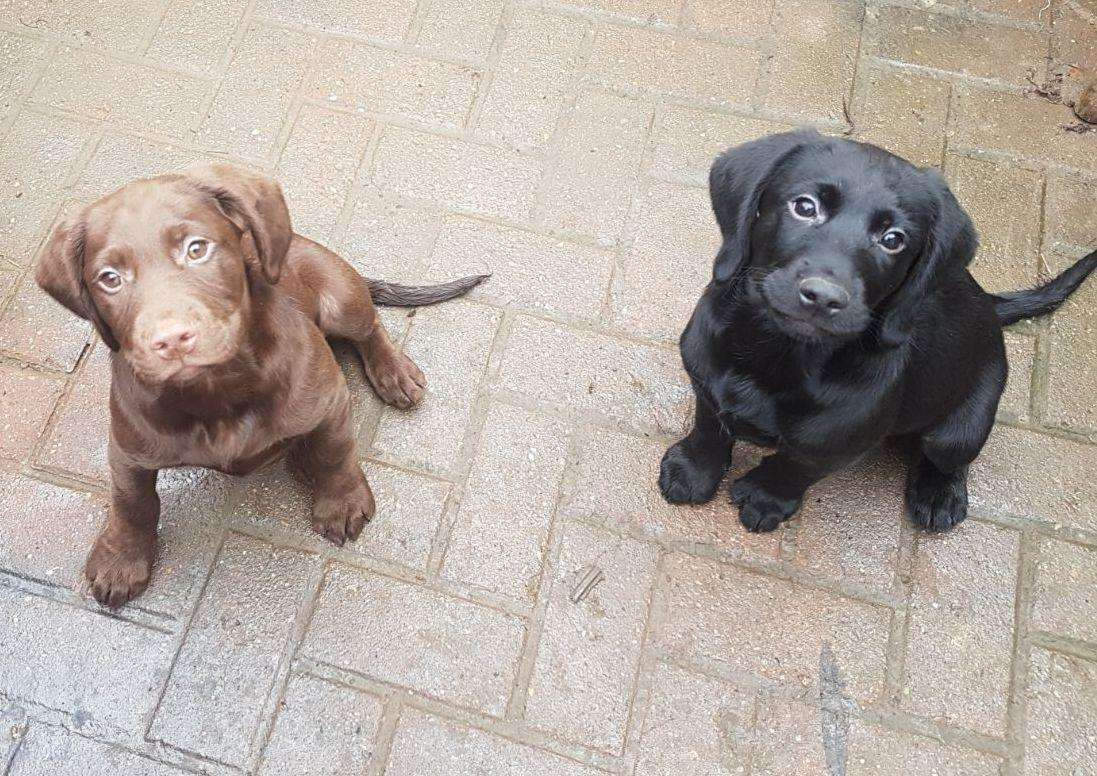 Bruno as a puppy, with his brother Diesel