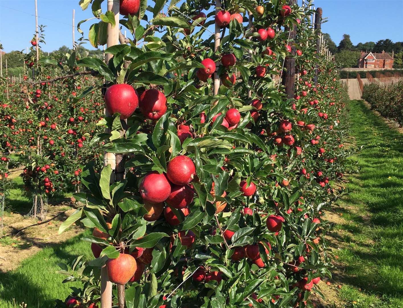 Apples growing at AC Goatham & Son, which has its headquarters in Hoo