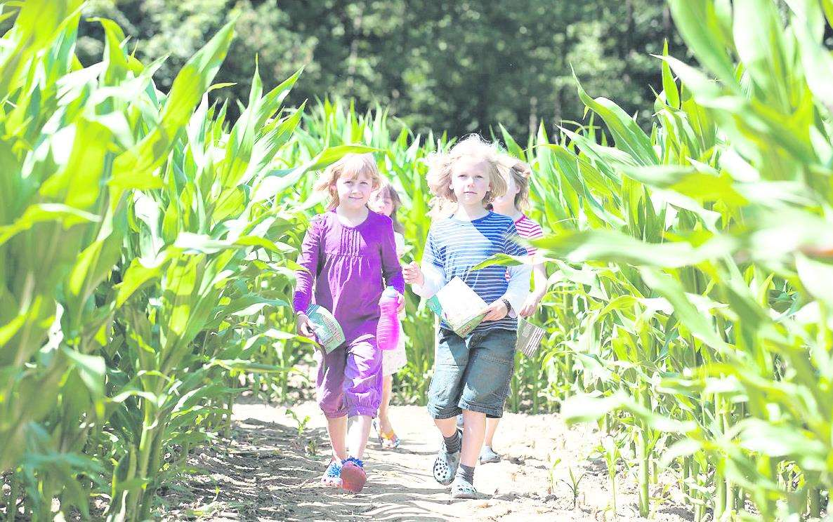 The Maize Maze has opened at Penshurst Place Picture: Craig Prentis