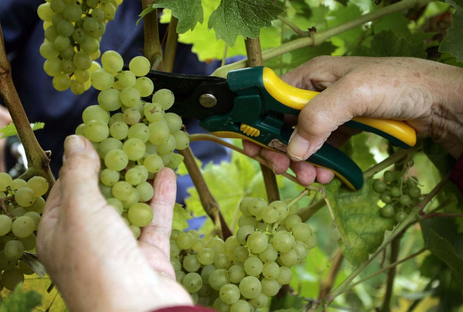 The grape harvest is set to deliver a bumper crop this year - enhancing the optimism among Kent's wine producers