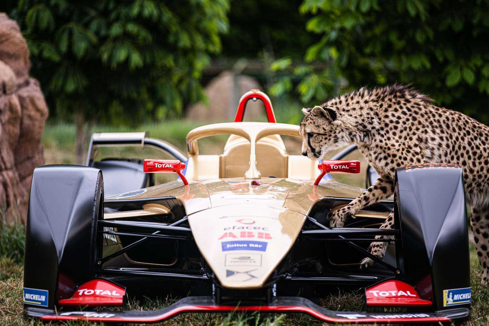 A cheetah from the sanctuary explores the Formula E car. Picture: DS TECHEETAH