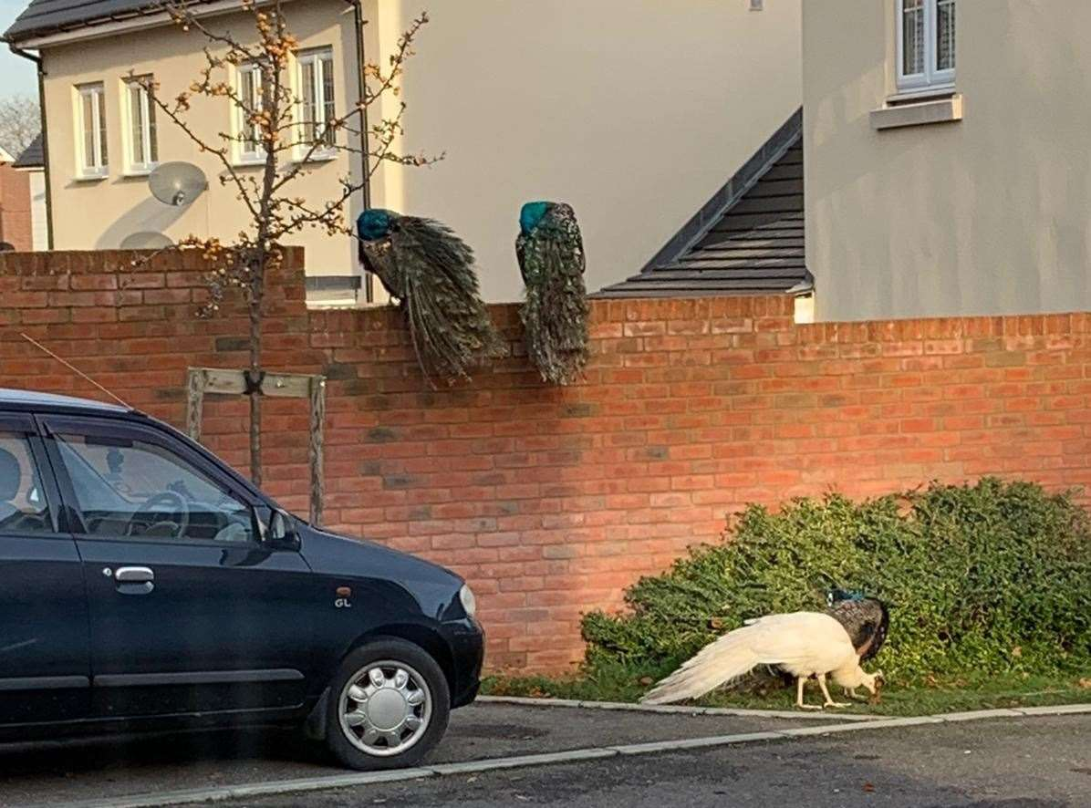 The peacocks pictured here peering over a brick wall are never too far away from each other Picture: Emma Kulahci
