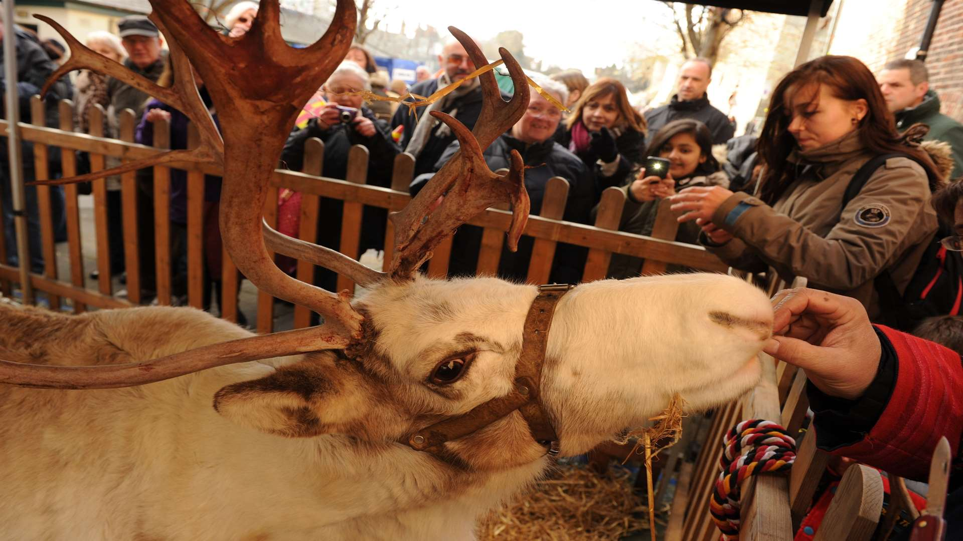 There will be reindeer, like Precious, pictured last year