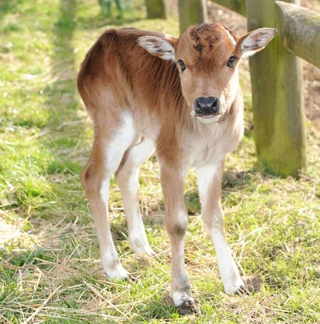 He WAS Born Yesterday! Meet Dave The Zebu, One Of The