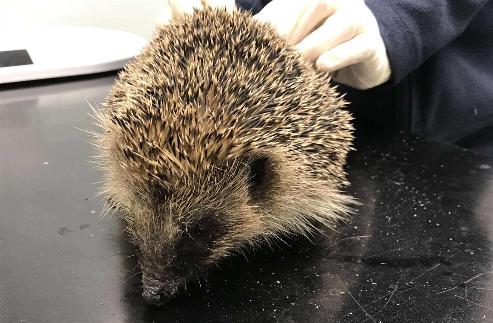 The hedgehog was rescued by a member of the public (5323232)