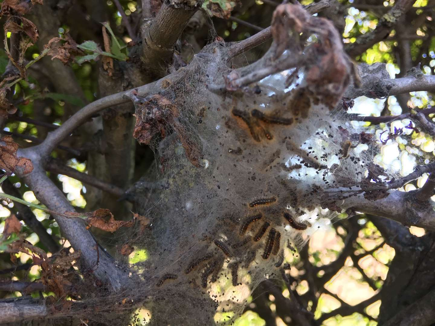 The toxic caterpillars are often in webs