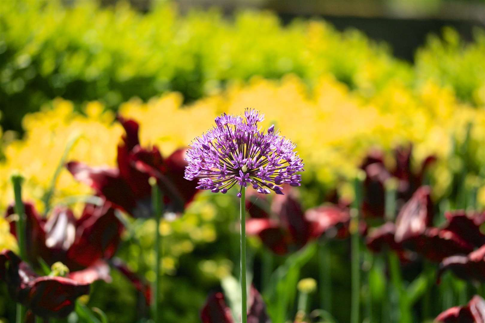 Plant your alliums in early autumn
