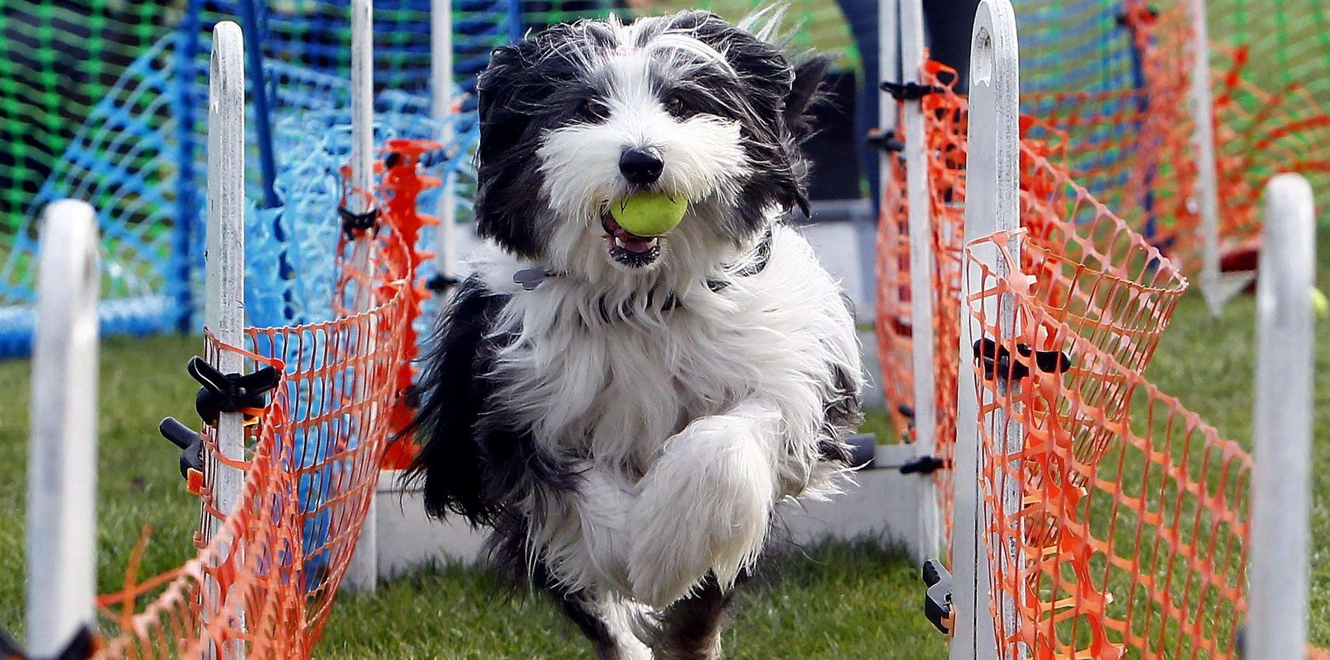 Saskia from the Tonbridge Flyball Team the Underdogs at last year's Bark Off Picture: Sean Aidan