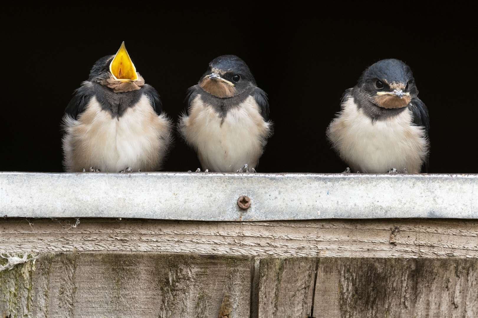 Barn swallow fledglings perched on a stable door waiting to be fed Picture: RSPB