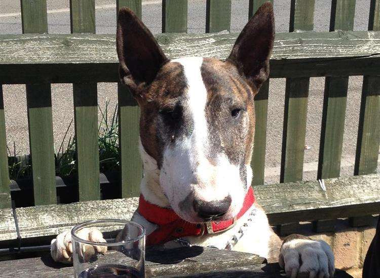 English bull terrier Dave was attacked with a samurai sword