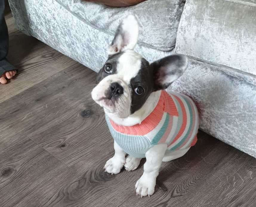 Winnie the French Bulldog went missing from a house in Longley Road, Rainham. Picture: Henry Griggs