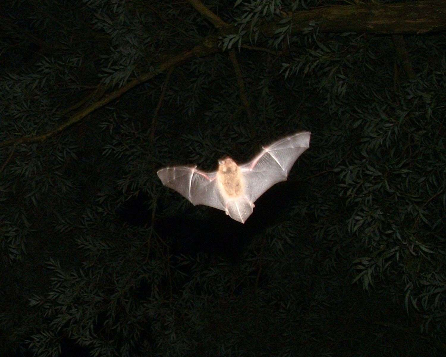 Pipistrelle bats have been reported at the site in recent years