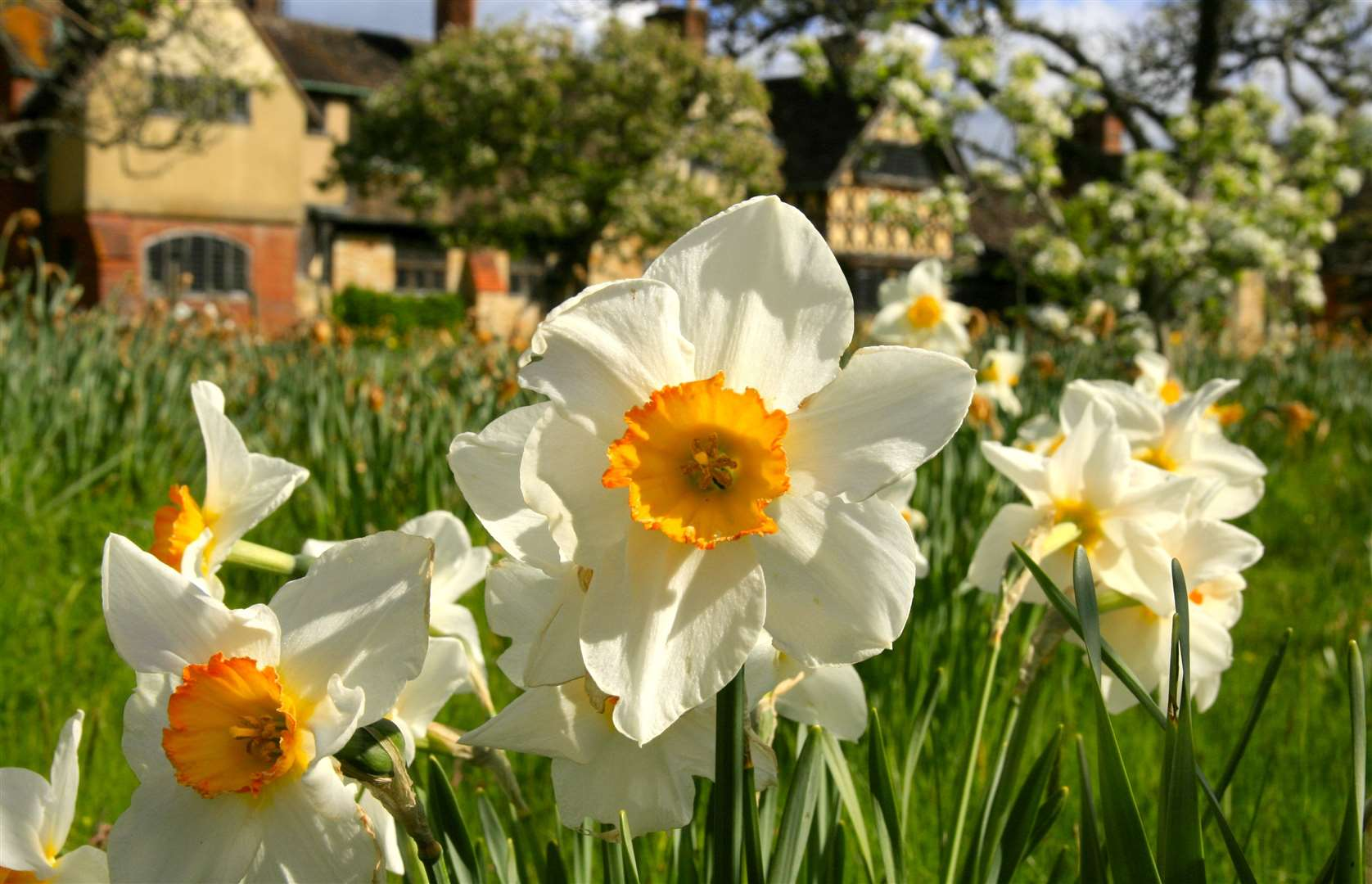 Dazzling Daffodils are coming to Hever
