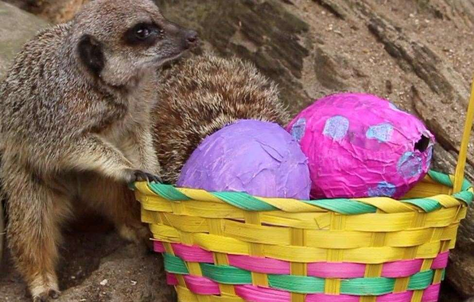 The meerkat mob enjoyed their Easter treats (8619106)