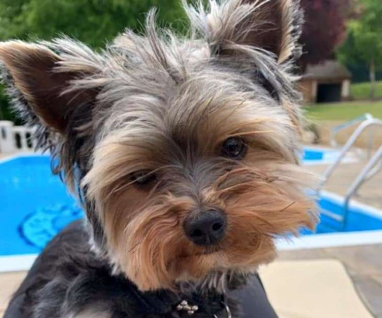 Teddy the Yorkshire terrier has been missing since Friday (19357383)