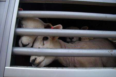 Sheep peer through bars of a lorry from which dozens died at the Port of Ramsgate. Picture: Mike Pett
