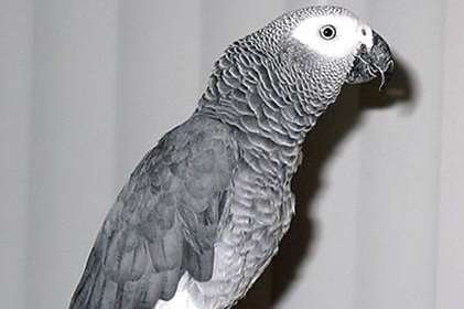 Monty the African Grey parrot has gone missing from his Beltinge home