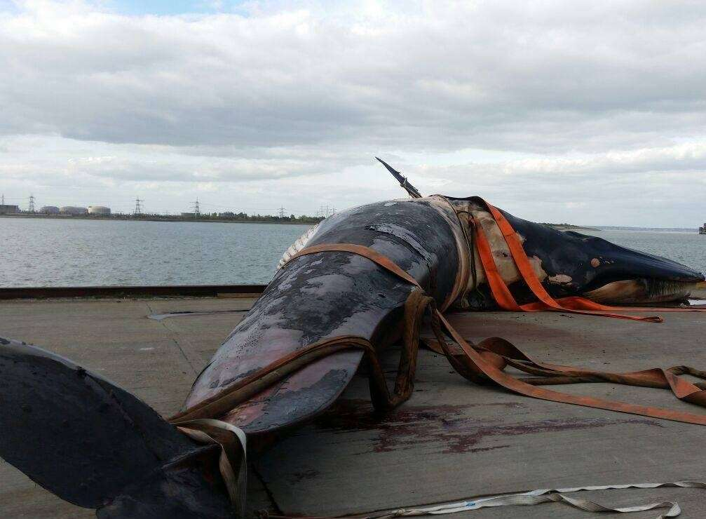 The 30-tonne body of the male fin whale at Sheerness Docks