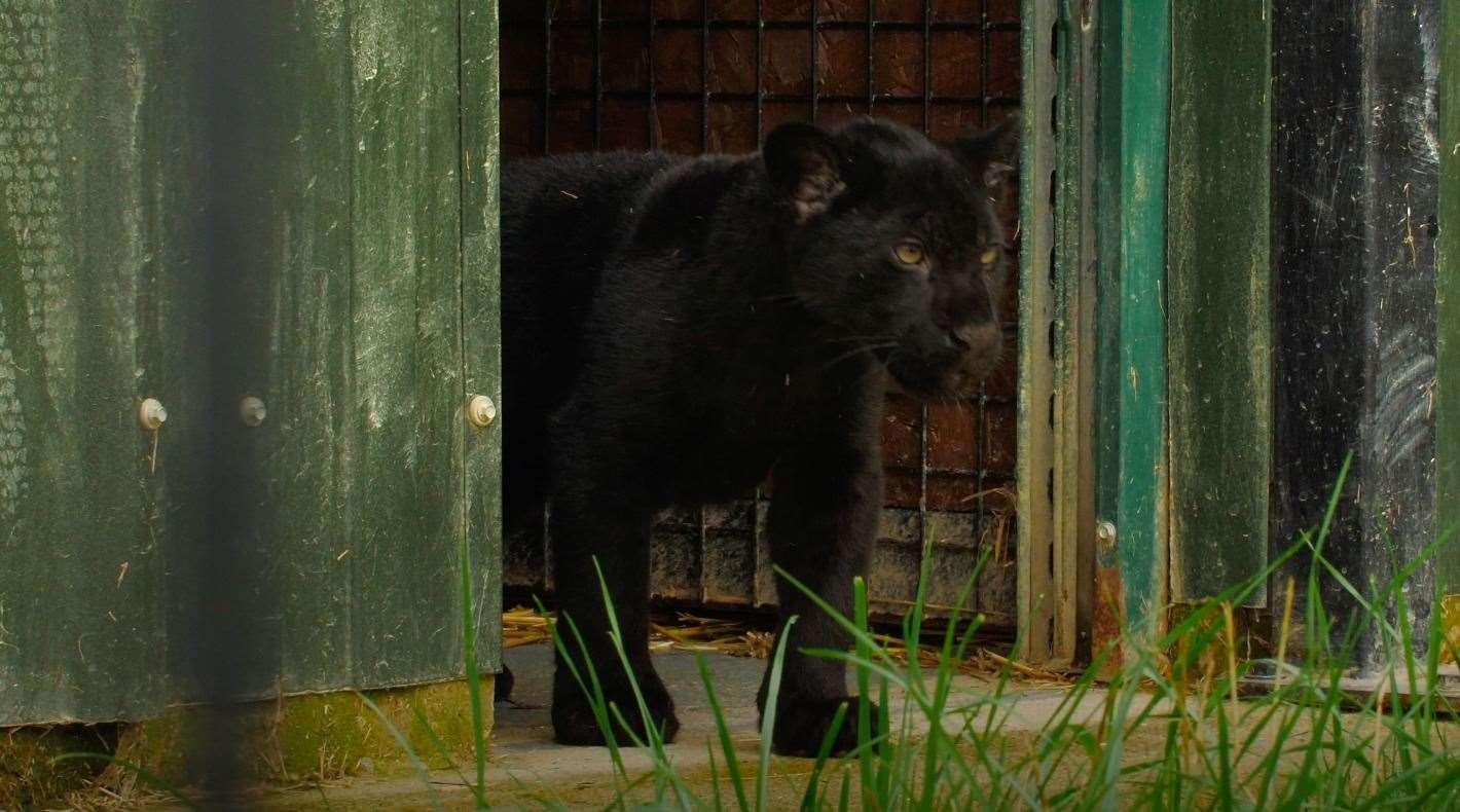 El Inca Jaguar ha sido el centro de atención de los medios antes.  Foto: Santuario de grandes felinos