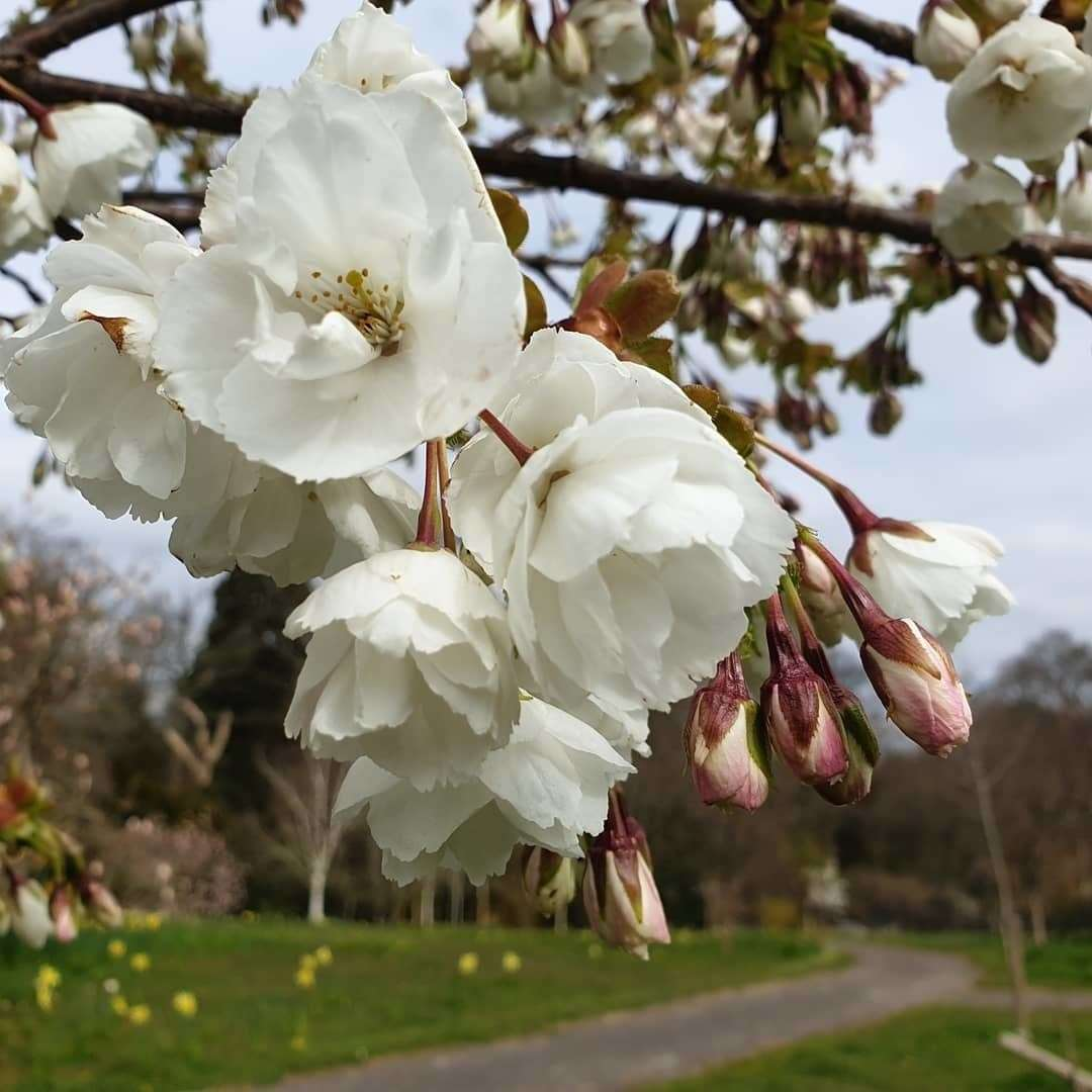 The great white cherry blossom at Hole Park Gardens, Rolvenden