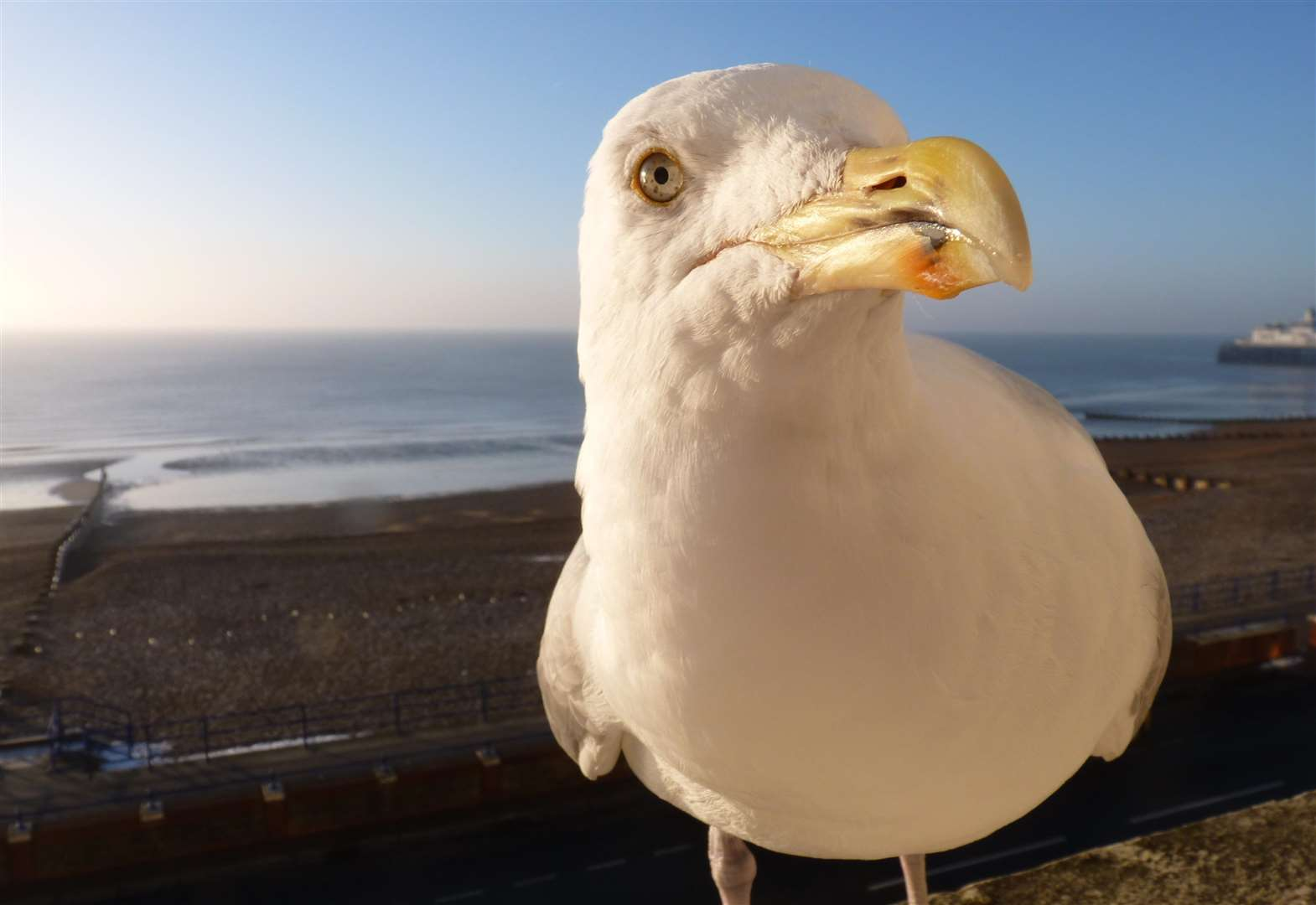 Kent's best seagull stories