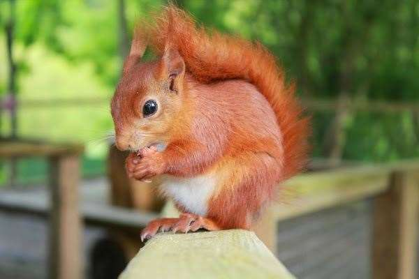 The behaviour of the trust's red squirrels has changed due to the lack of visitors. Picture: Wildwood Trust